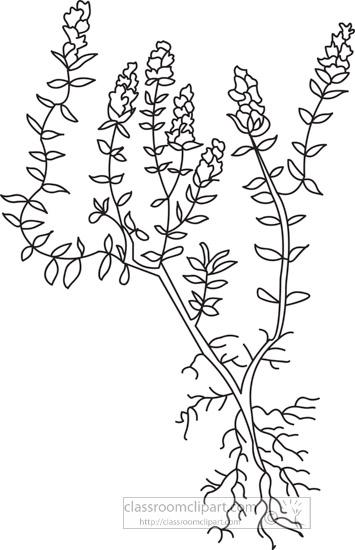 thyme-herb-black-white-outline-clipart.jpg