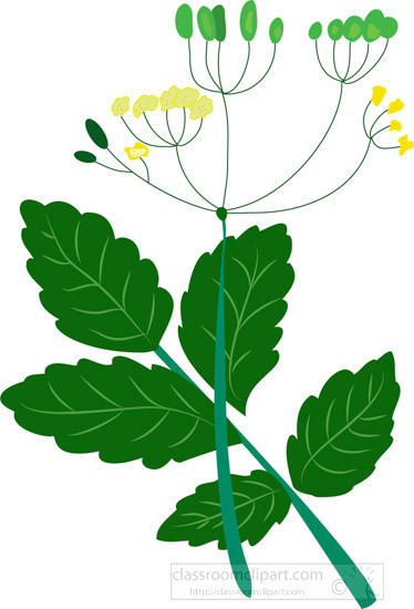 herb-plant-with-seeds-flowers-clipart.jpg