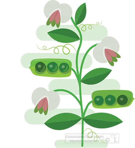 pea-flowers-with-pea-pods-clipart.jpg