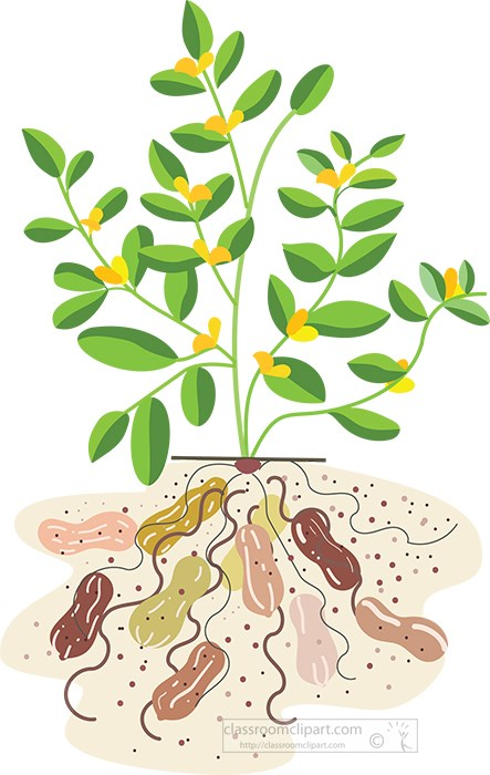 peanut-plant-showing-peanuts-growing-underground-vector-illustration.jpg
