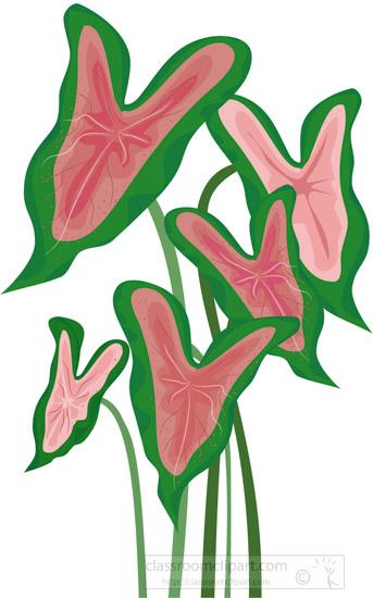 pink-green-caladium-plant-clipart.jpg