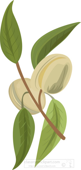 two-almonds-with-leaf-growing-on-tree-clipart.jpg