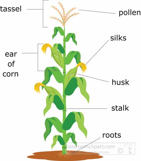 corn-plant-structure-clipart-illustration-6818.jpg