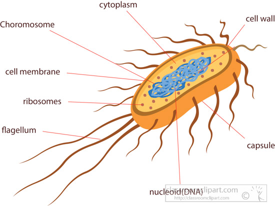 cross-section-of-bacteria-e-coli-illustrated-clipart.jpg