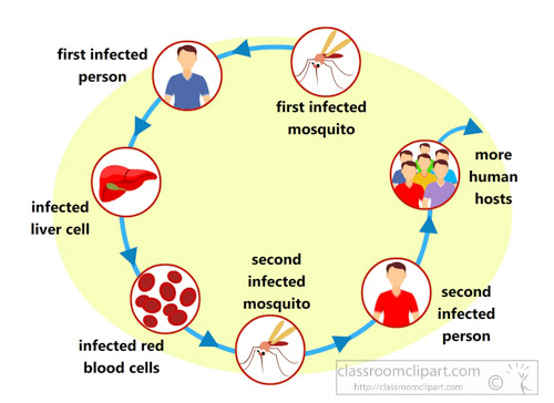 cycle-of-malaria-infection-clipart.jpg