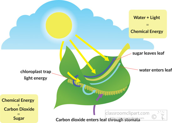 illlustrated-process-of-photosyntheses-clipart.jpg