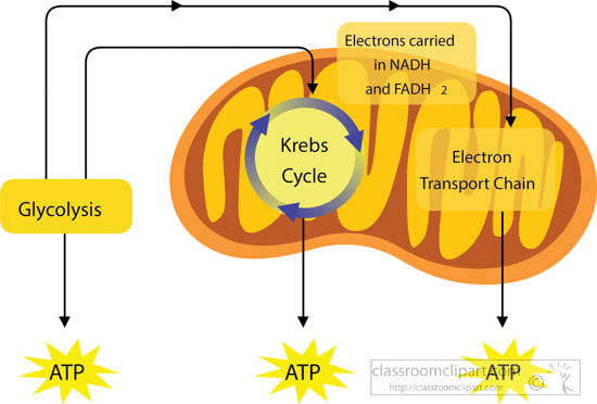 Science : krebs-cycle-cellular-respiration-clipart ...