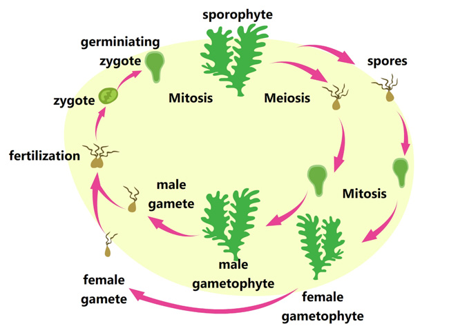 life-cycle-of-algae-clipart.jpg