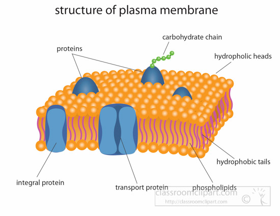 structure-of-plasma-membrane-clipart-illustration-6818.jpg