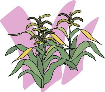 5-6-0715-corn.jpg