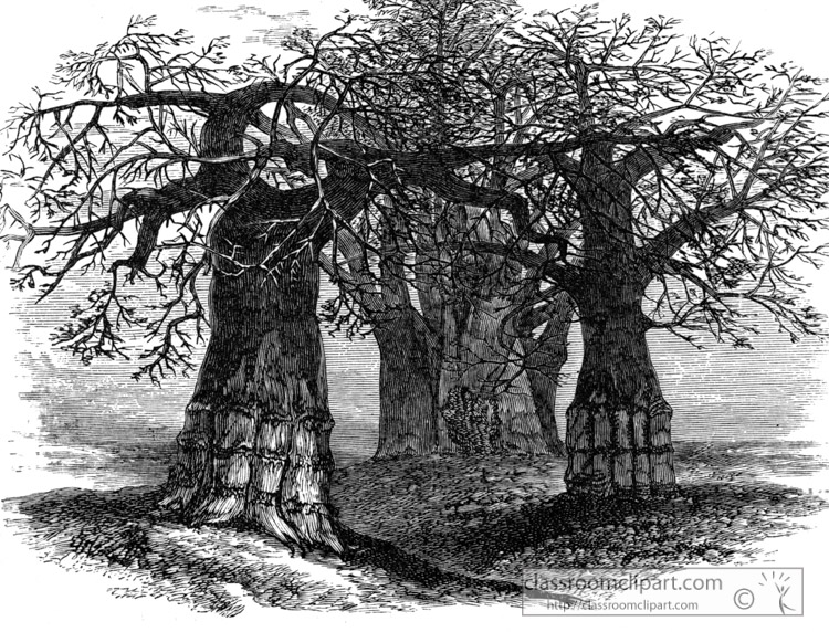 elephants-foot-or-gouty-limbed-tree-historical-illustration-africa.jpg