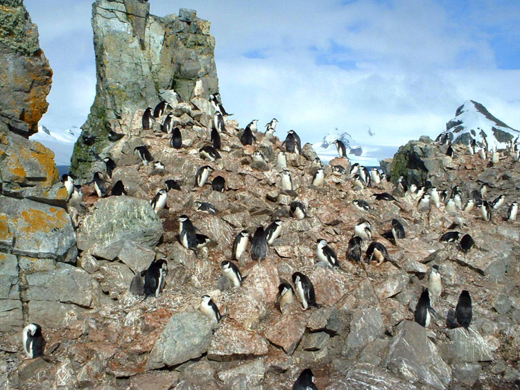 A-Chinstrap-penguin-rookery-2.jpg