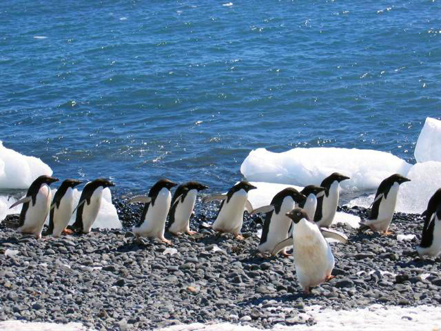 Adelie-penguins-at-Brown-Bluff-at-the-end-of-the-Tabarin-Peninsula-2.jpg