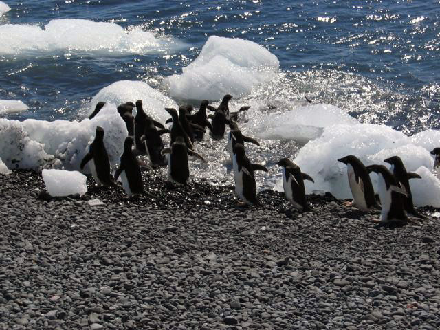 Adelie-penguins-entering-the-ocean-at-Brown-Bluff-at-the-end-of-the-Tabarin-Peninsula-2.jpg