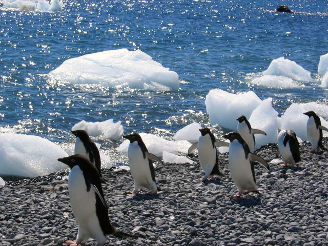 Adelie-penguins-on-the-march-at-Brown-Bluff-at-the-end-of-the-Tabarin-Peninsula-2.jpg