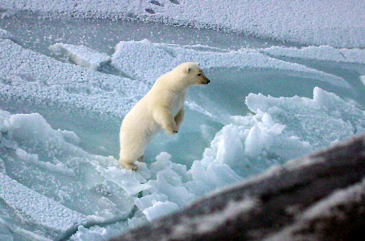 young-polar-bear-stands-up-artic-circle-003-photo.jpg
