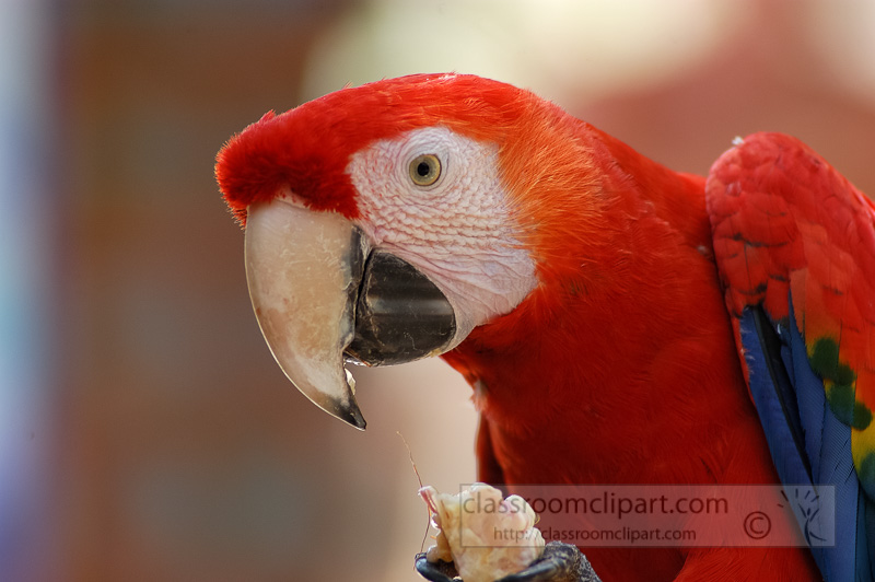 red-macaw-parrot-05-4989A.jpg