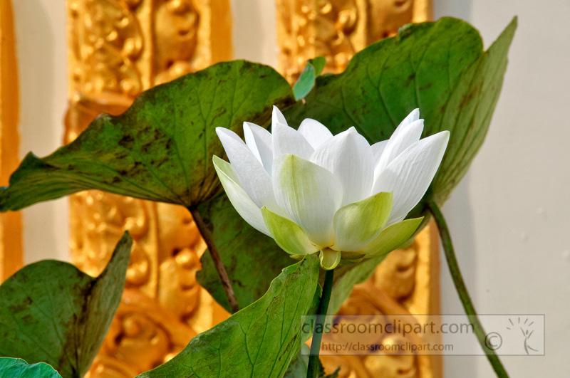 white-lotus-flower-phnom-penh-21.jpg