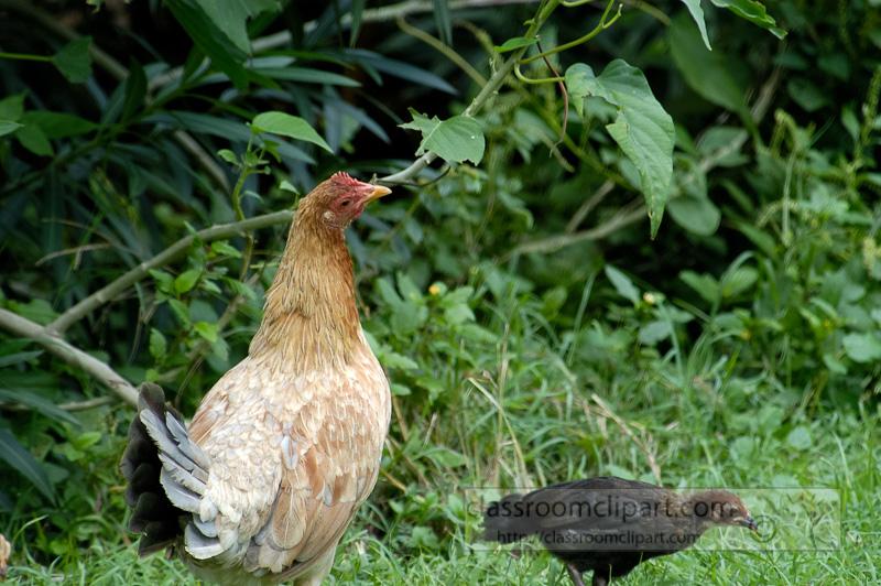 Photo-Chicken-roaming-in-caribbean-0199.jpg