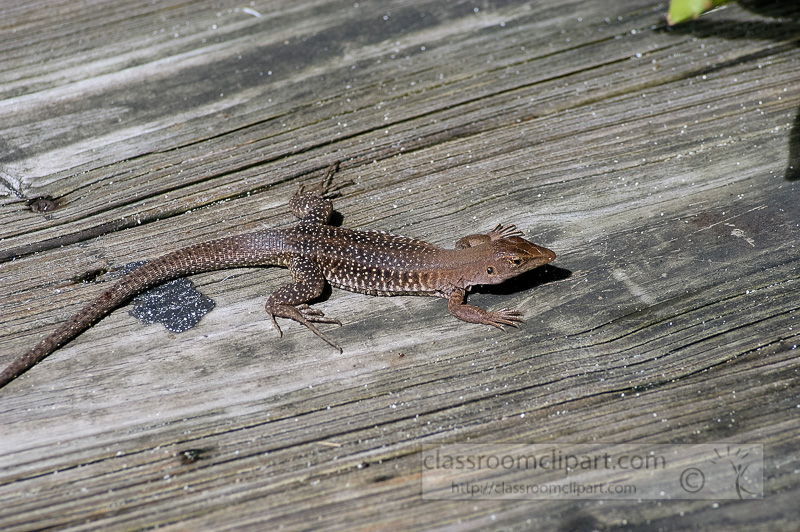 Photo-Lizard-at-Coki-Beach-caribbean-0112.jpg