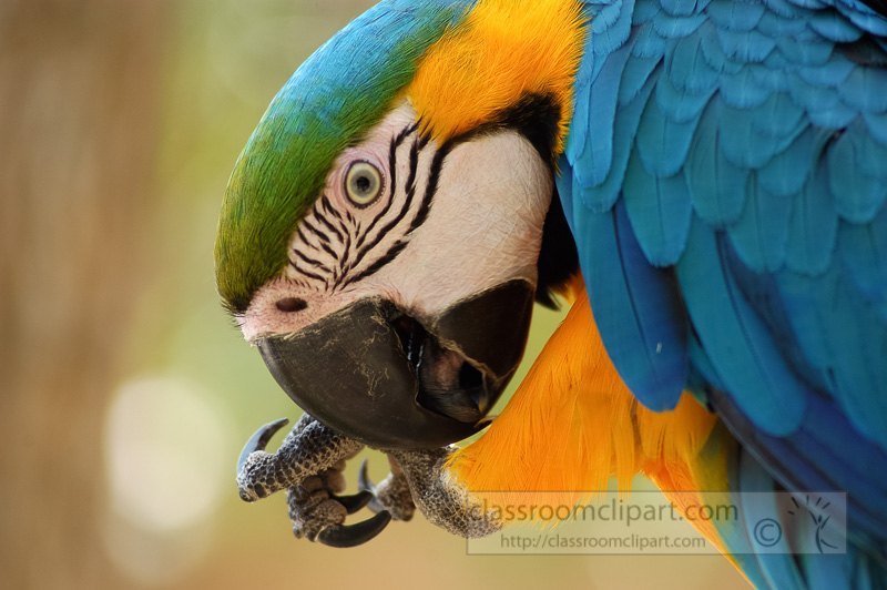 blue-yellow-macaw-parrot-bird--4999A.jpg