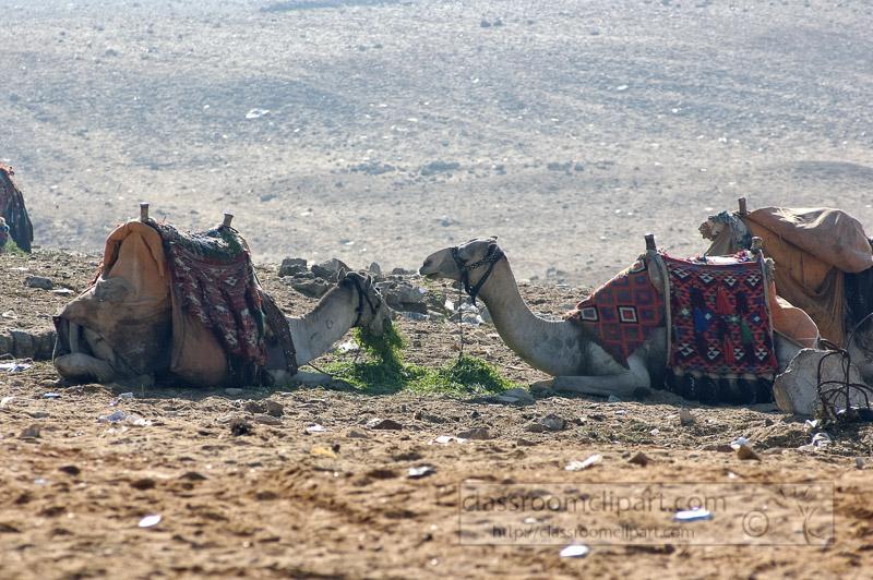 group-of-camels-near-pyramids-giza-egypt-photo_5375.jpg