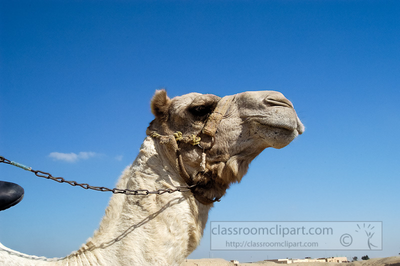 closeup-of-camel-egyptain-desert-photo-image-1208a-edit.jpg