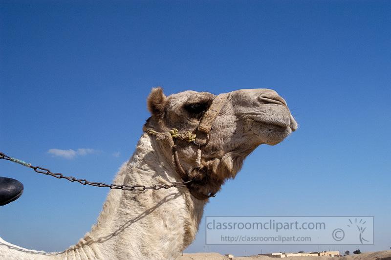 closeup-of-camel-egyptain-desert-photo-image-1208a.jpg