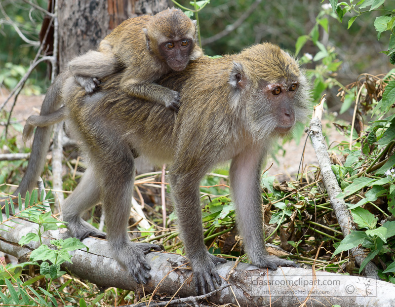 long-tail-macaques-monkey-langkawi-malaysia-7465a.jpg