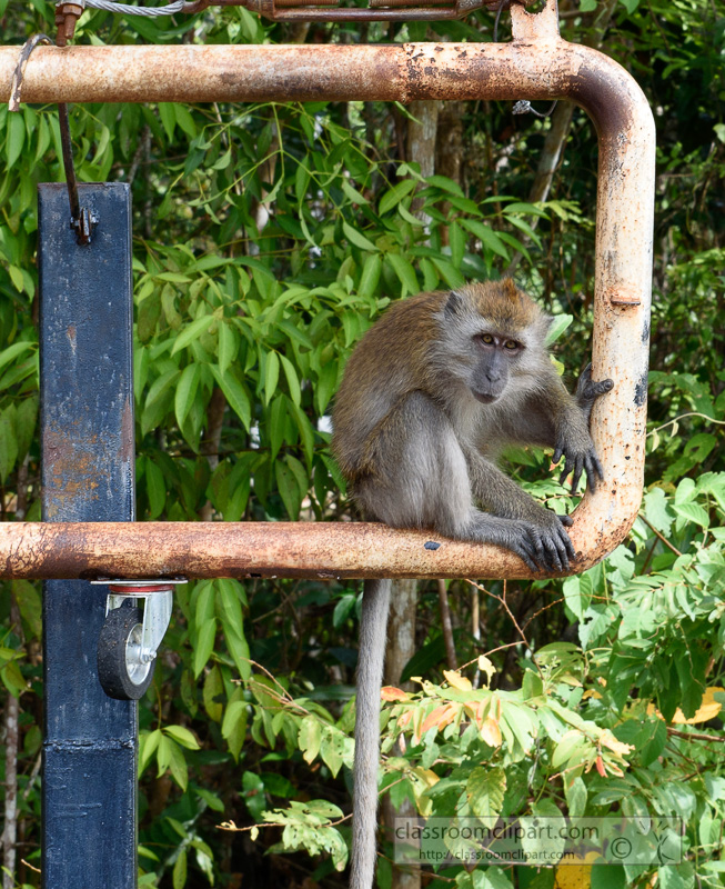 long-tail-macaques-monkey-sitting-on-old-metal-gate-langkawi-malaysia-7069b.jpg