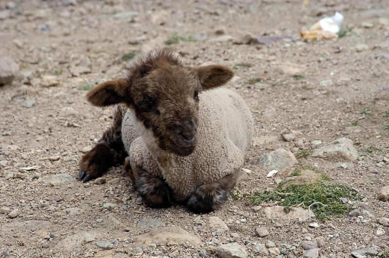 Baby-sheep-in-Peru-Photo_024.jpg