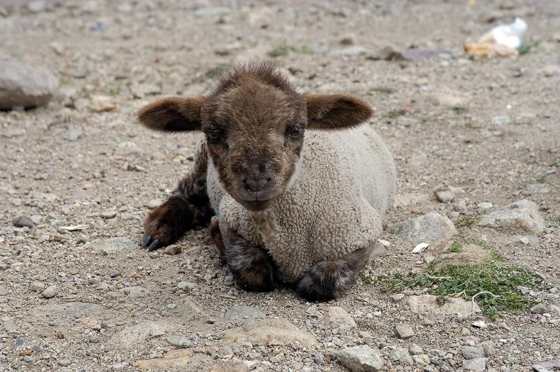 Baby-sheep-in-Peru-Photo_025.jpg