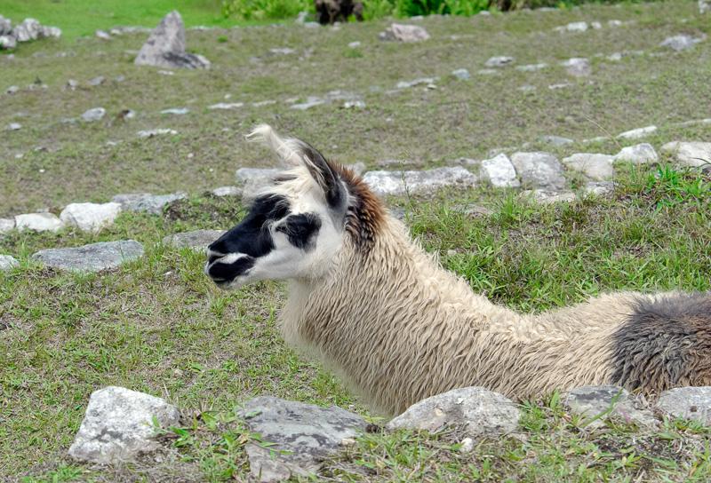 Llama-Machu-Piccu-Photo_018.jpg