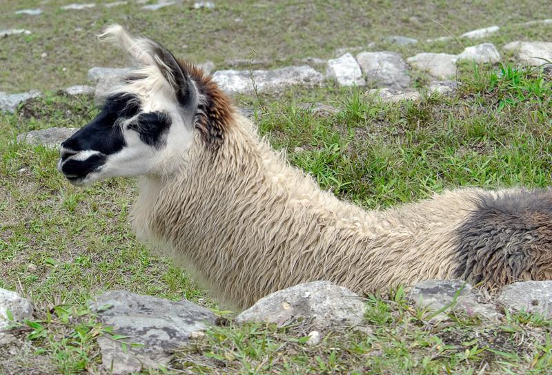 Llama-Machu-Piccu-Photo_019.jpg