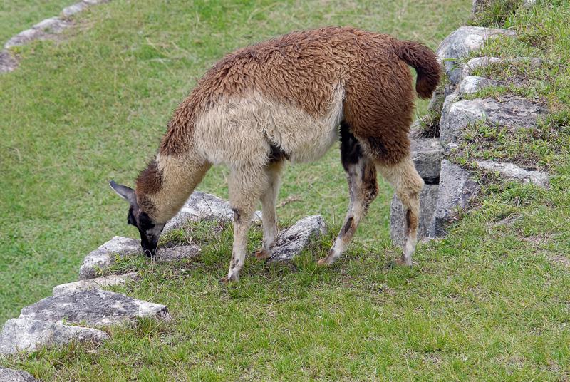 Llama-Machu-Piccu-Photo_020.jpg