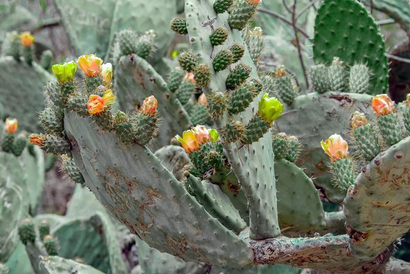 Flowering-Cactus-Peru-021.jpg