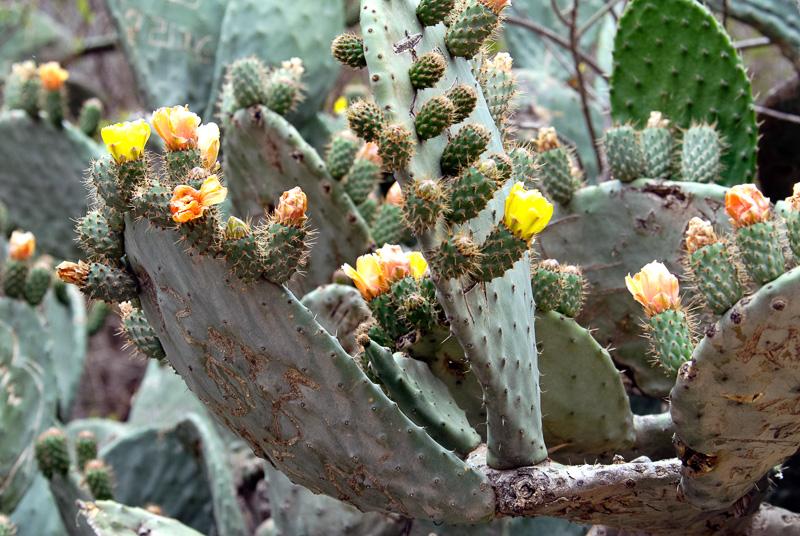 Flowering-Cactus-Peru-022.jpg