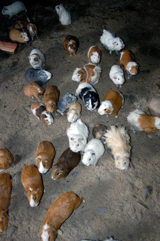 Guinea-Pigs-in-rock-adobe-style-home-Ollantaytambo-Peru-Photo_008.jpg