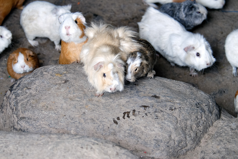 Peruvian-Guinea-Pig-003.jpg