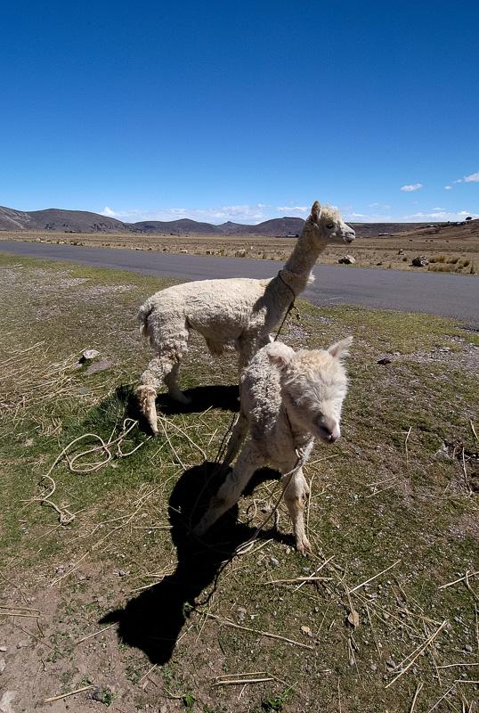Llamas-along-roadside-near-Lake-Titicaca-Photo-91-019.jpg