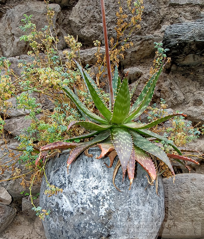 cactus-growing-along-the-inca-ruins-peru-.jpg