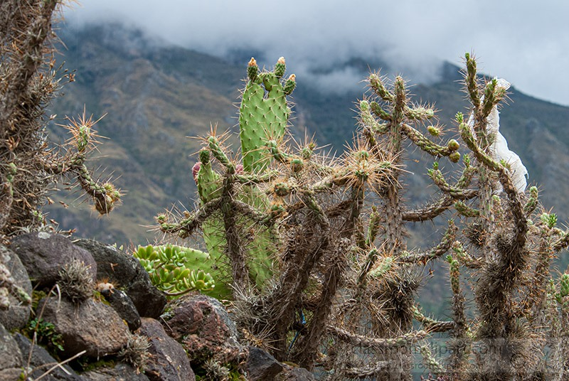 cactus-growing-in-the-mountains-of-peru-228.jpg