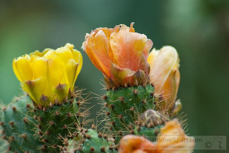 closetup-of-a-prickly-pear-cactus-flower-1300.jpg