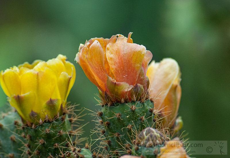 flowering-cactus-peru-299.jpg