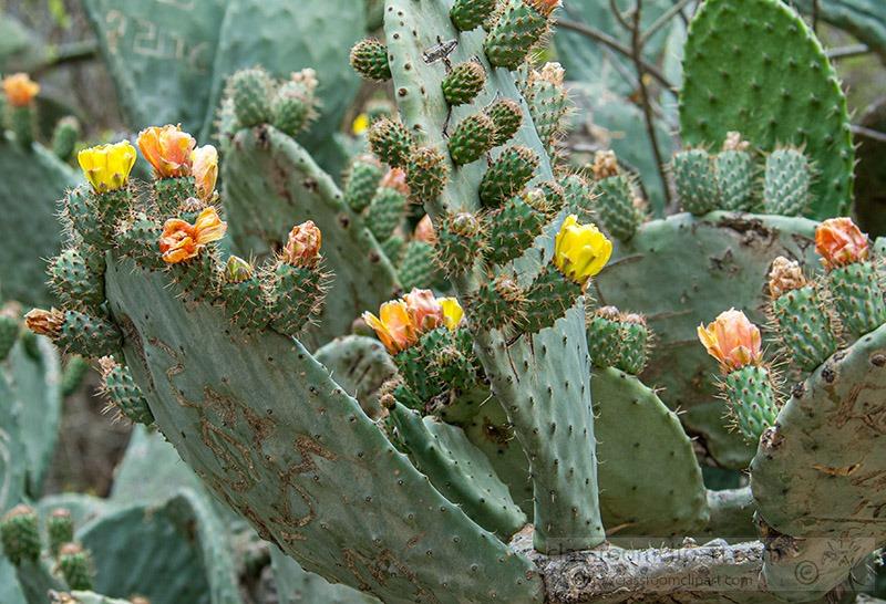 prickly-pear-cactus-peru-1301.jpg