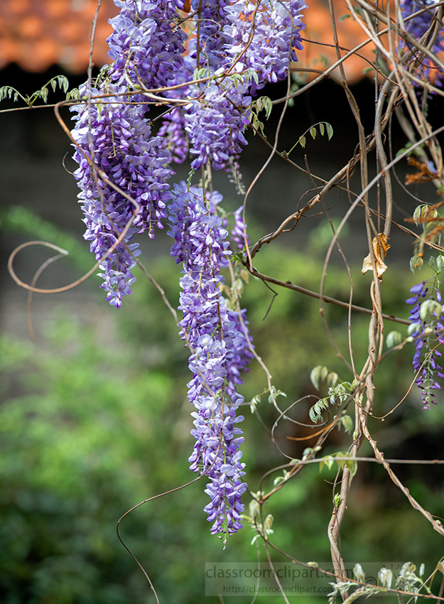 closeup-view-of-a-flowering-wisteria-in-garden-795.jpg
