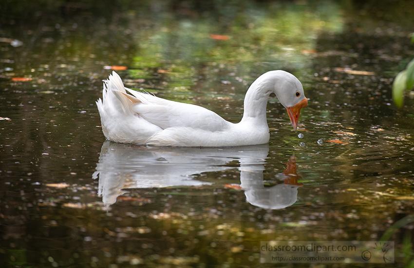 view-of-an-elegant-white-swan-portugal-4755-2.jpg