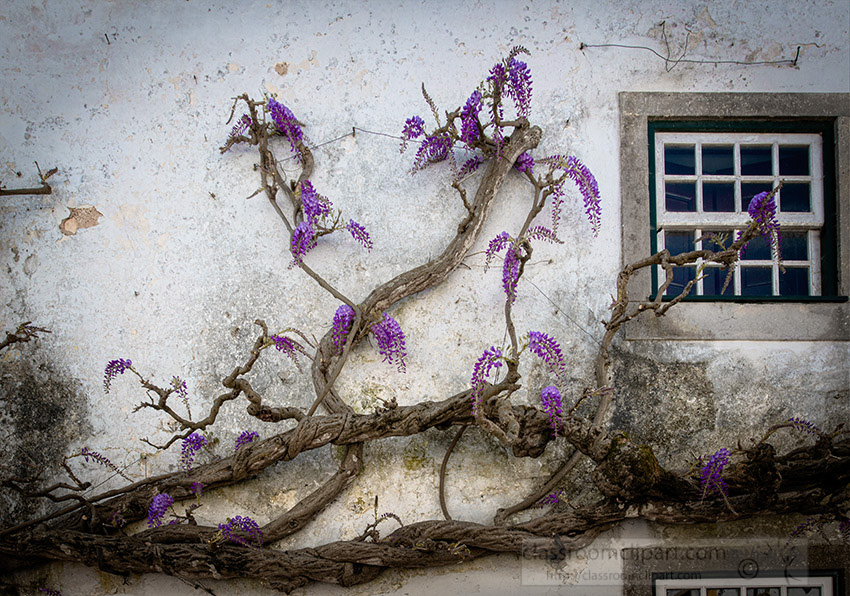 white-washed-building-with-wisteria-growing.jpg