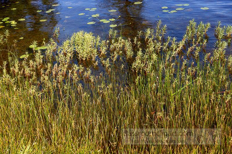 lake-with-shallow-water-vegetation-protruding-rocks-Sweden-01501.jpg