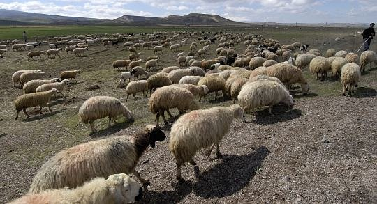 sheep_009A.jpg